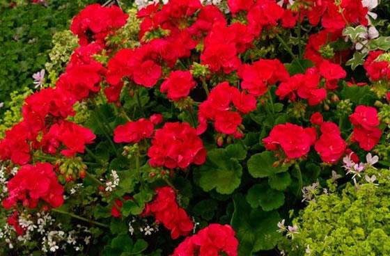 Vivai abagian prodotti piante fiorite gerani for Geranio parigino