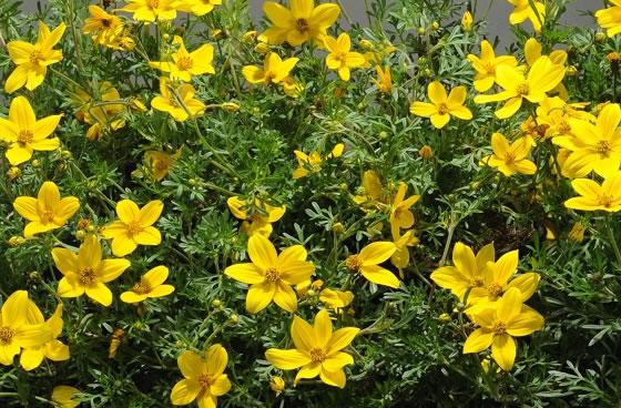 Vivai abagian prodotti piante fiorite - Calibrachoa perenne ...