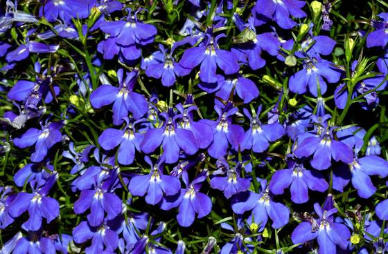 Vivai abagian prodotti piante fiorite for Siepi perenni fiorite