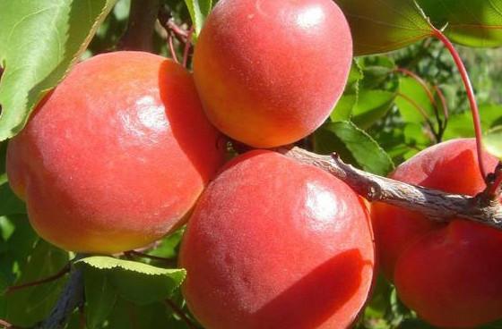 vivai abagian prodotti piante da frutta albicocchi